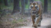 agt-indian-tiger